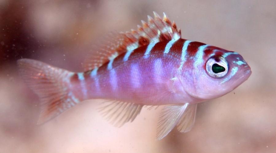 peixe-troca-de-sexo-pheeno-capa